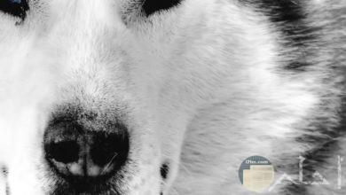 صورة للذئب و حدة نظراته.