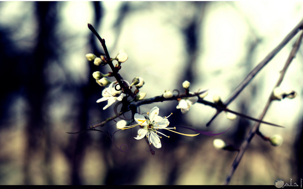 صورة زهرة الياسمين فى شجيرتها.