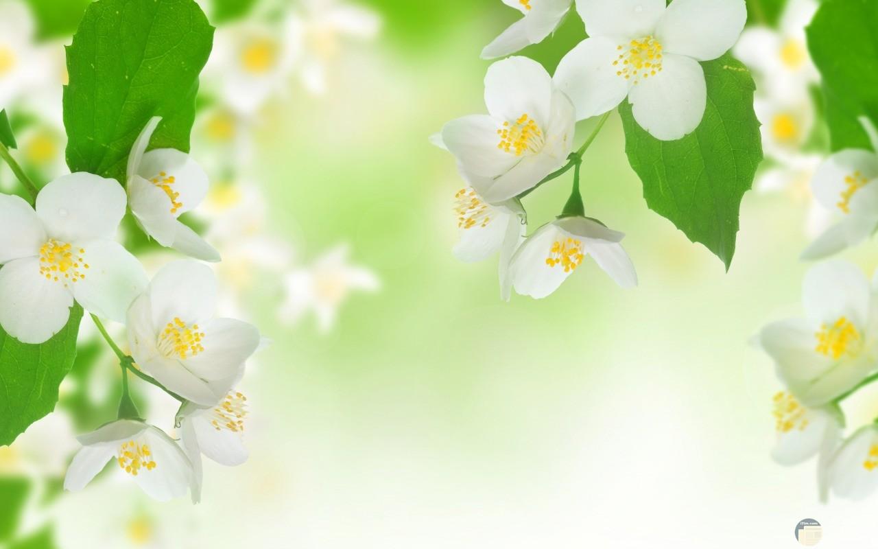 صورة لزهرة الياسمين كأنها شعاع للشمس.