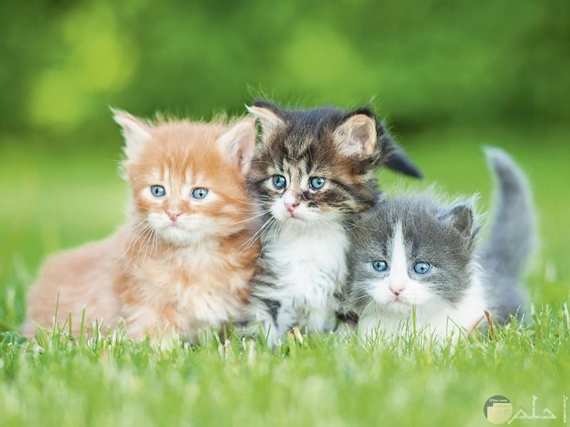 ثلاث قطط ملونة