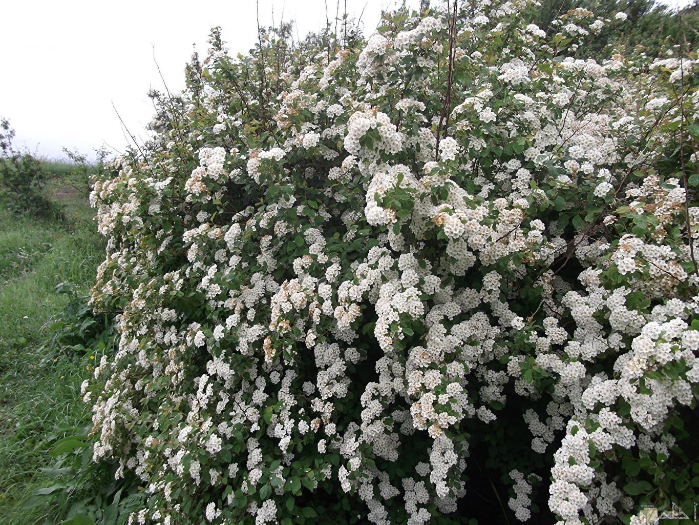 صورة جميلة لمجموعة زهور الياسمين و كأنها طريق.