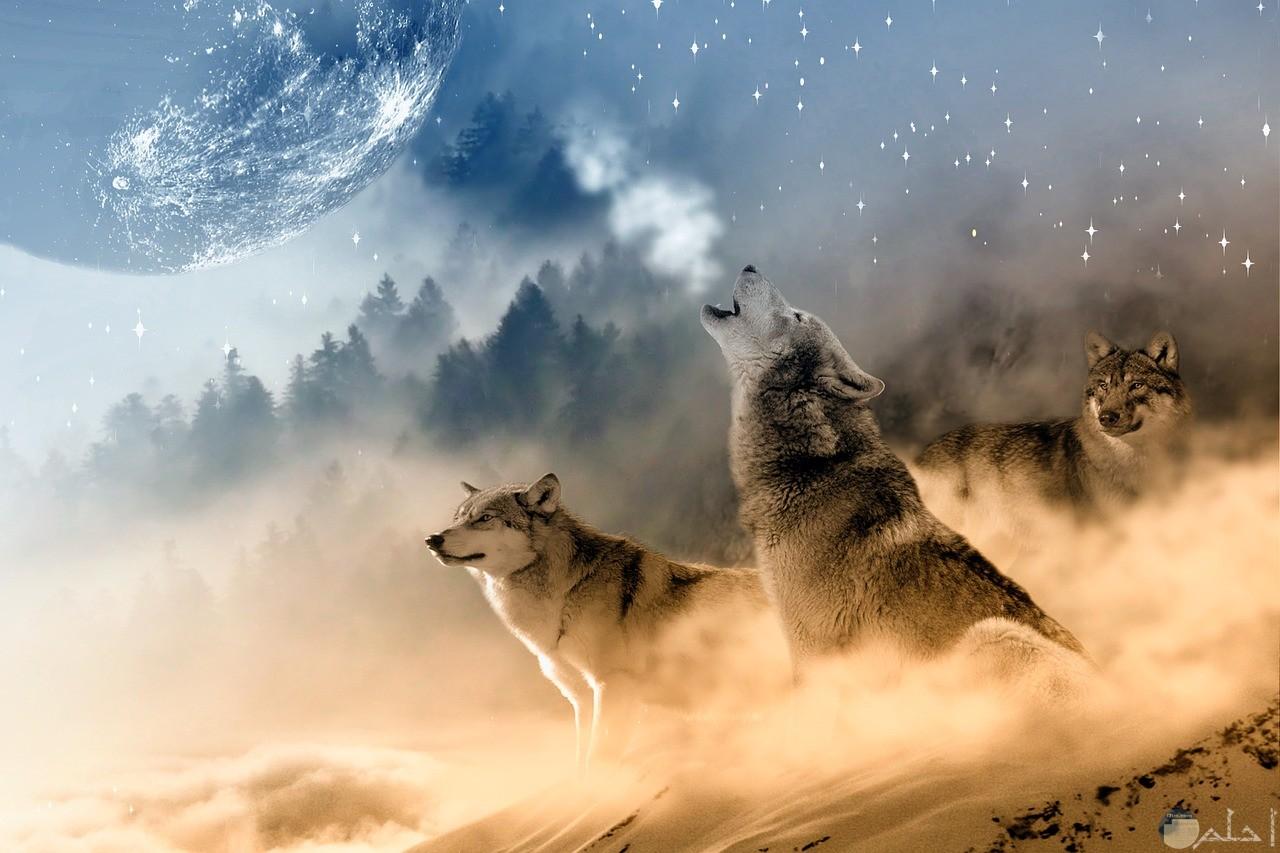 صورة ذئبين فى معركة.