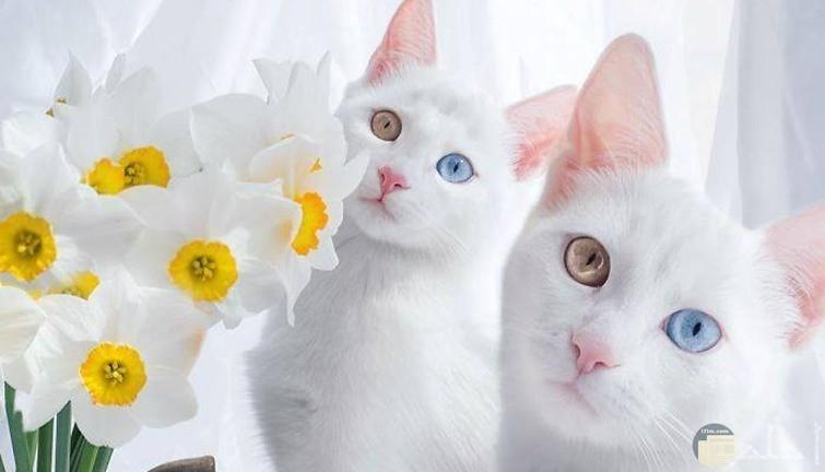 توينز قطط بيضاء