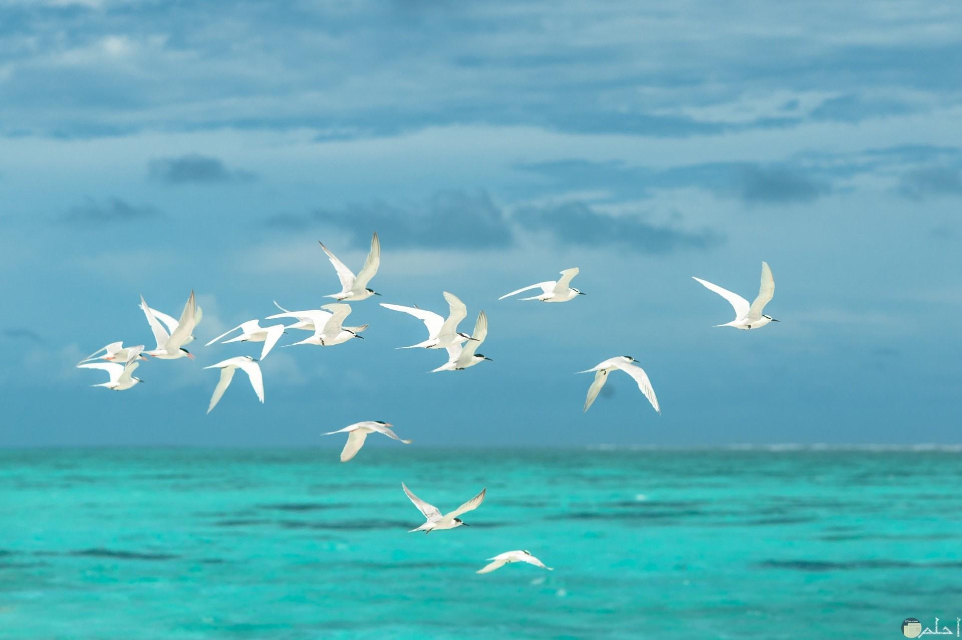 طيور البحر تحلق فى السماء