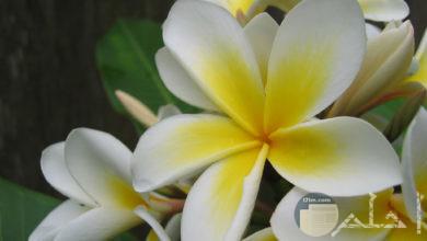 زهرة الياسمين بلونيها الابيض و الاصفر.