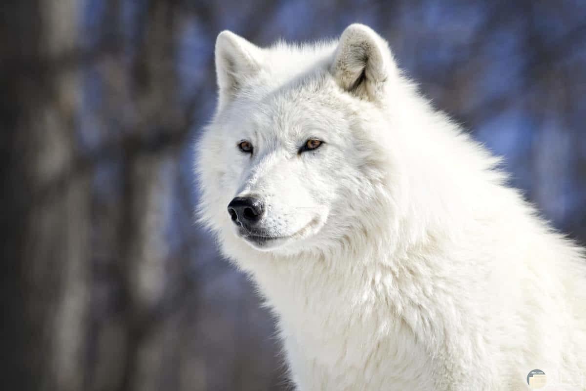 ذئب أبيض يمكر و كأنه أليف.