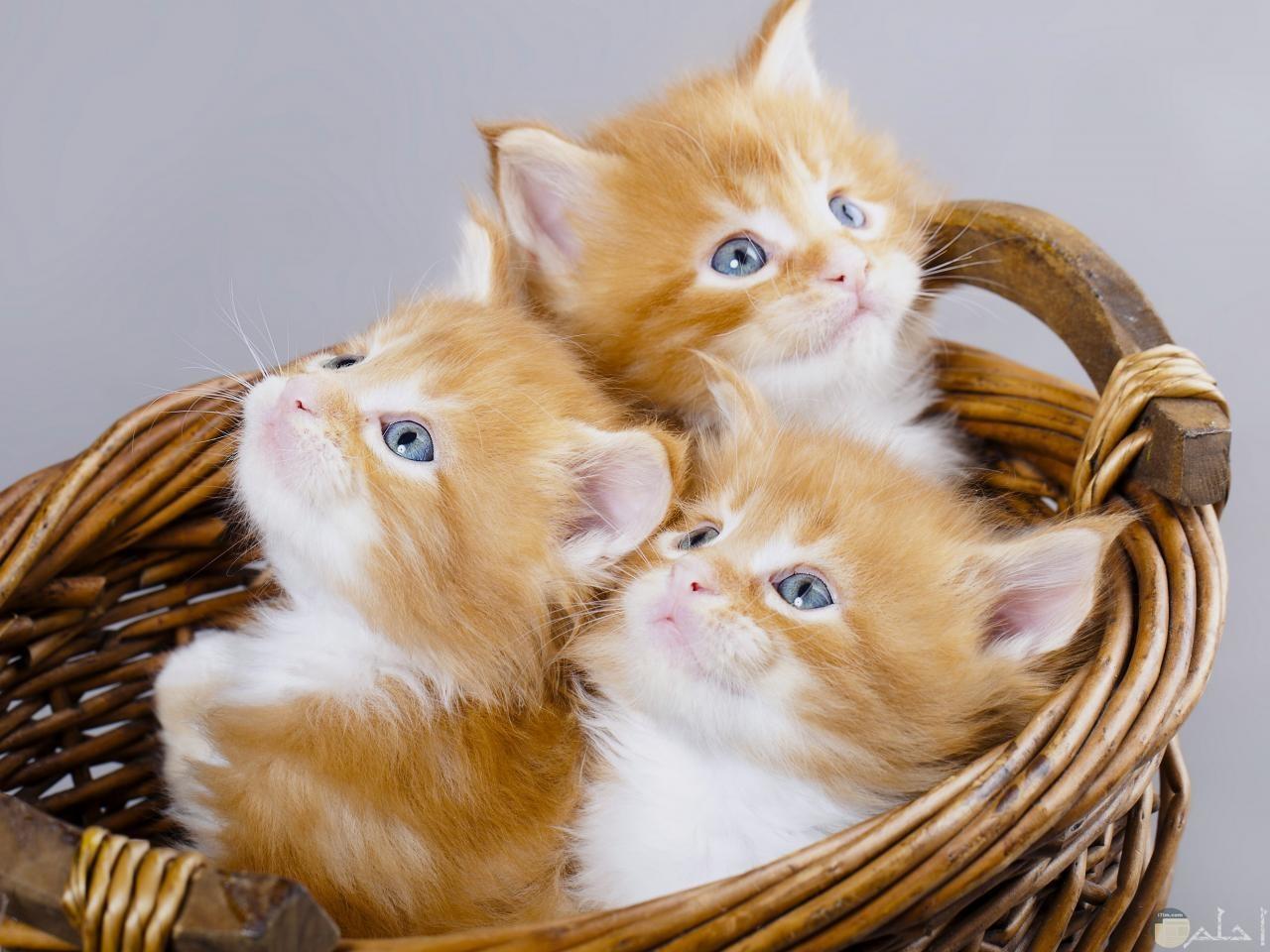 ثلاث قطط توأم