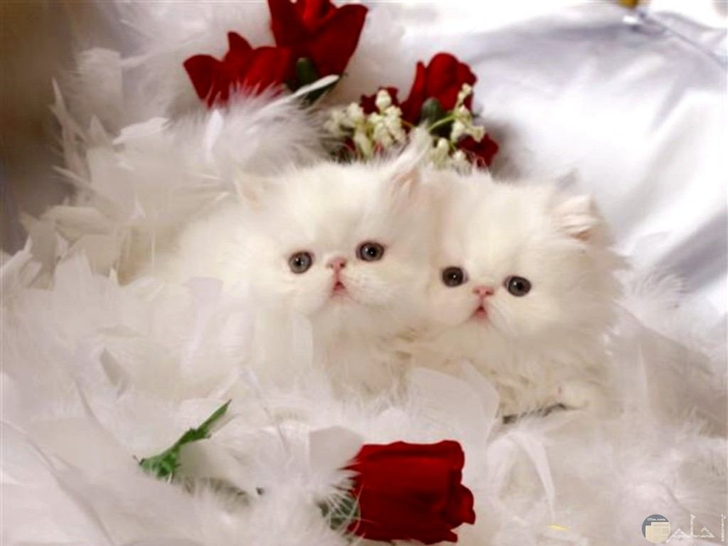 صورة قطتين فى انسجام تام.