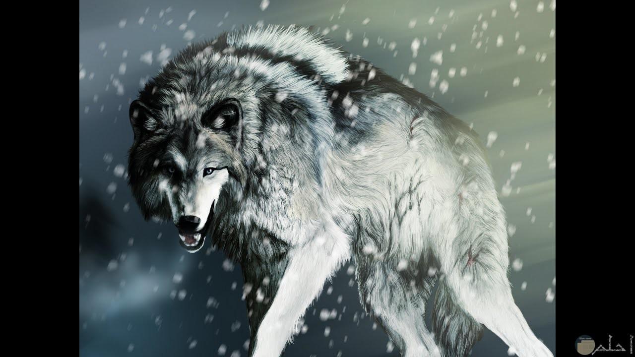 صورة لذئب و كأنه يتشاجر.