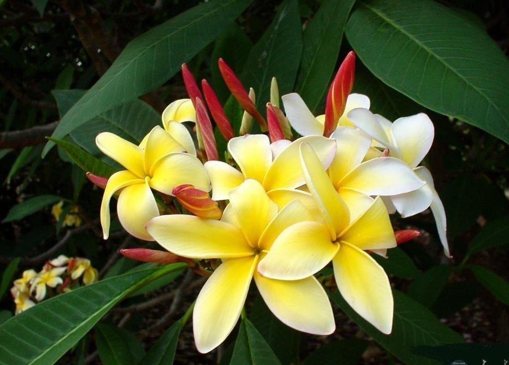 زهور الياسمين فى بوتقة عطرة.