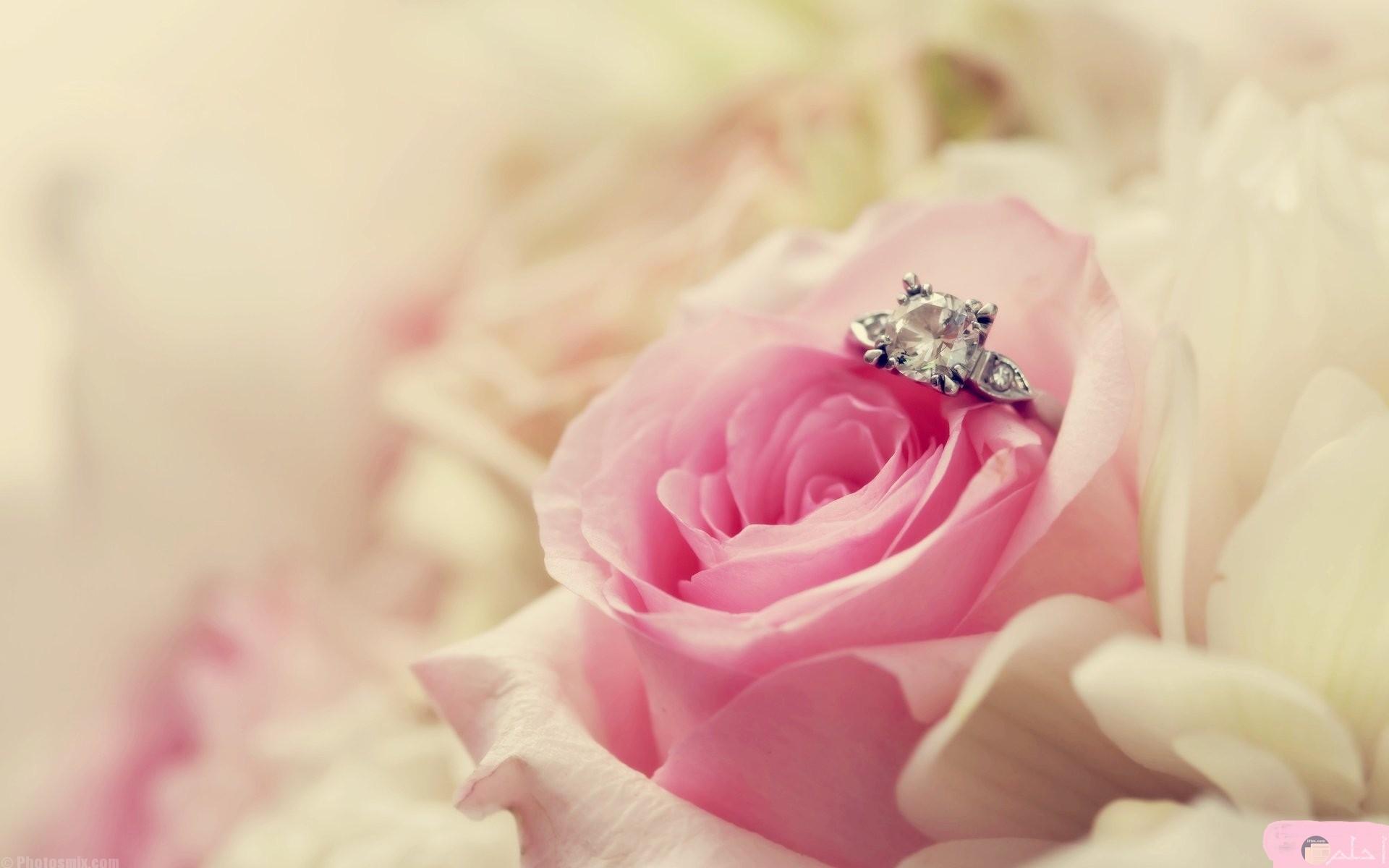 صورة وردة روز زاهية الجمال.