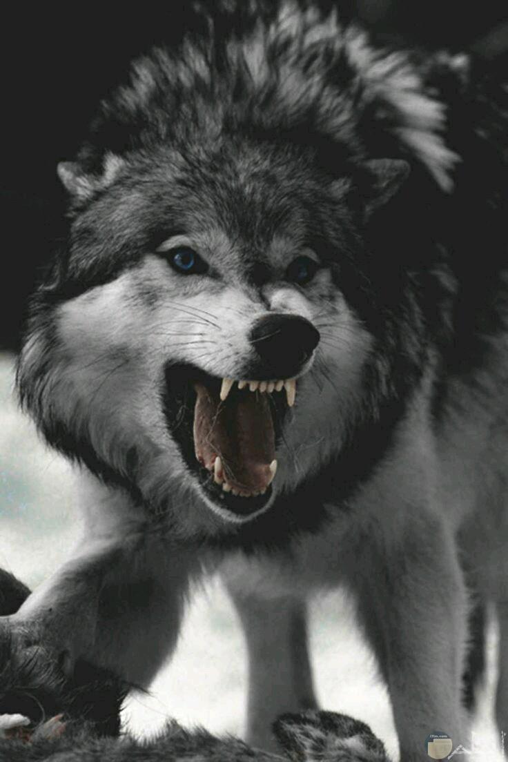 ذئب يصرخ فى وجه الفريسة.