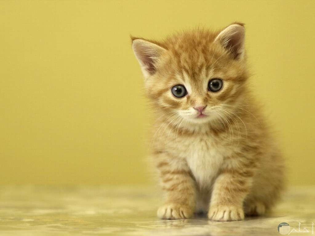 صورة قطة بني