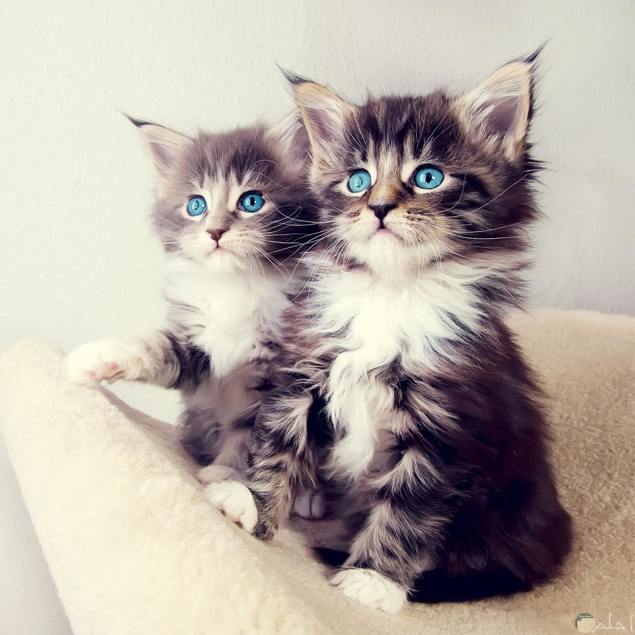 توينز من القطط الكيوت
