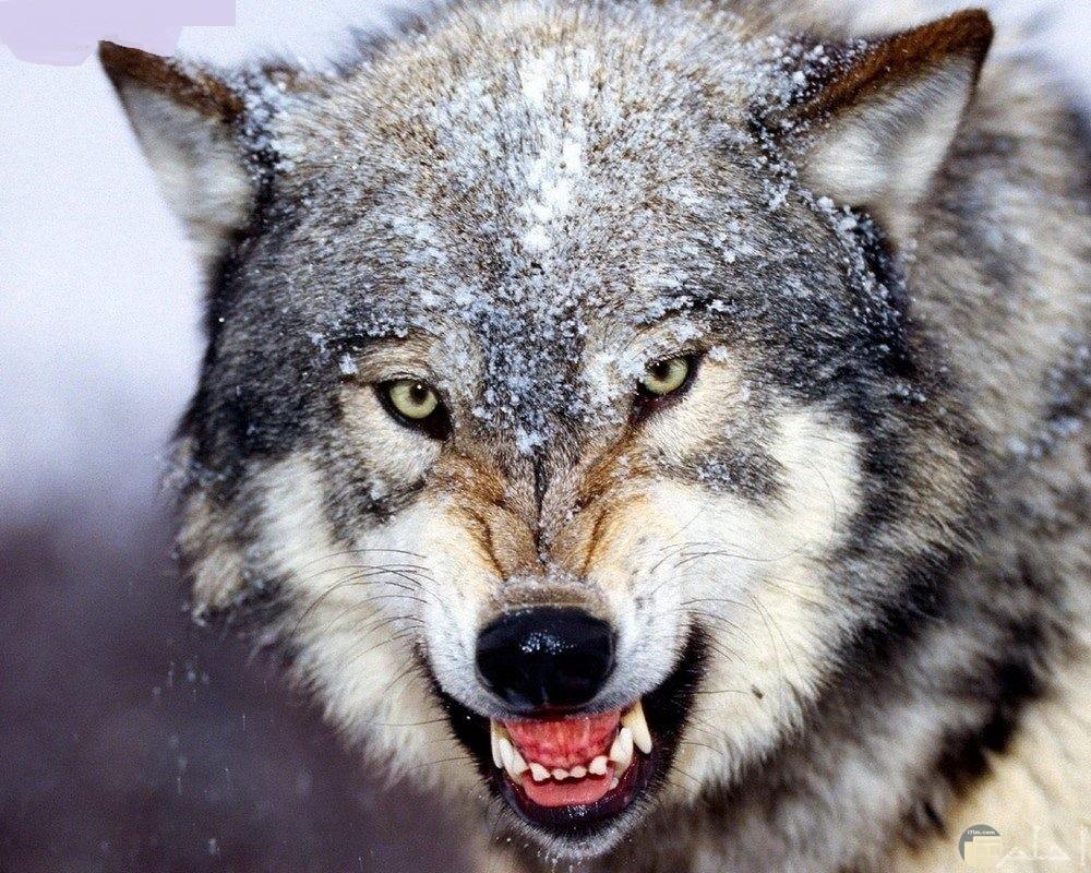 صورة ذئب ينظر بشدة عيونه.