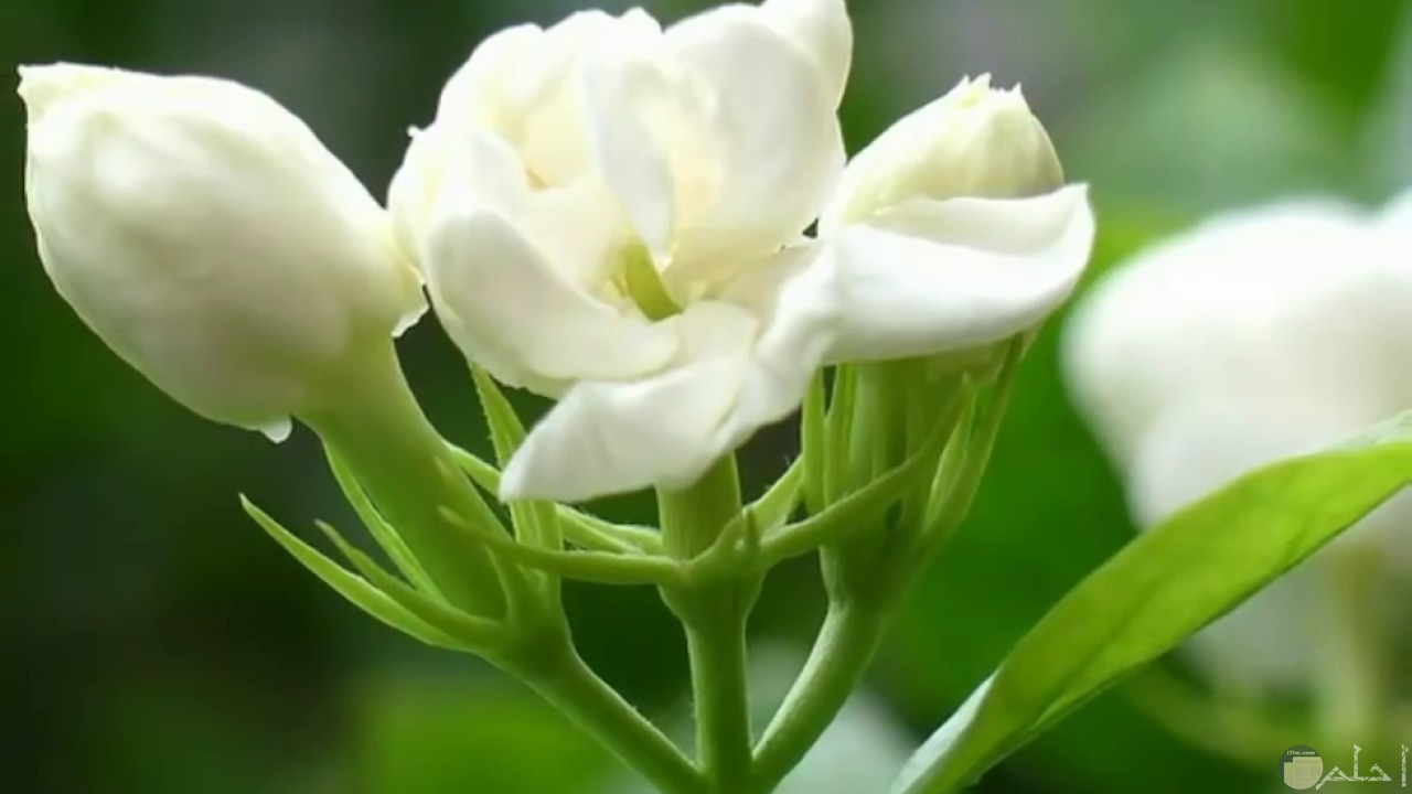 صورة لزهرة الياسمين و تفتح جزيئاتها.