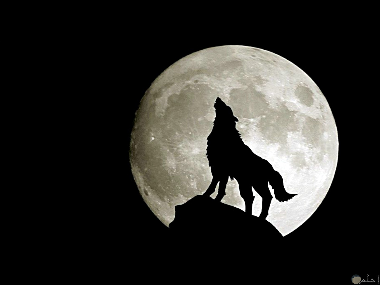 صورة ذئب يمتطى قمة الجبال صراخاً.