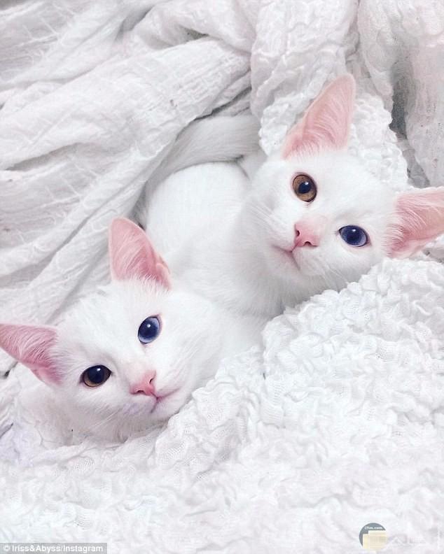 قطتين ذات عيون مميزة
