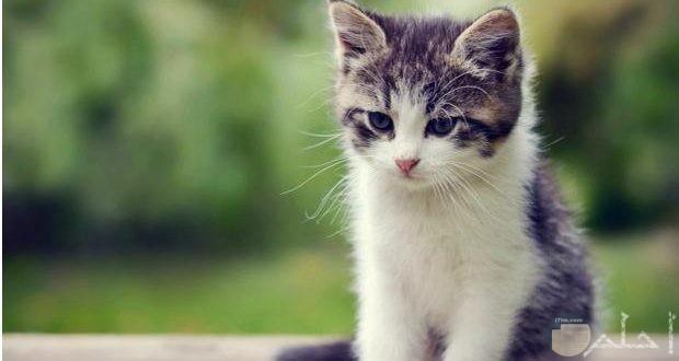 صورة قطة رمادي في ابيض