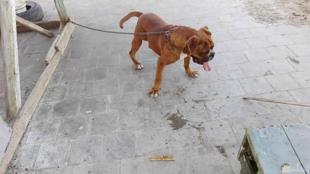 كلب بوكسر بني اللون