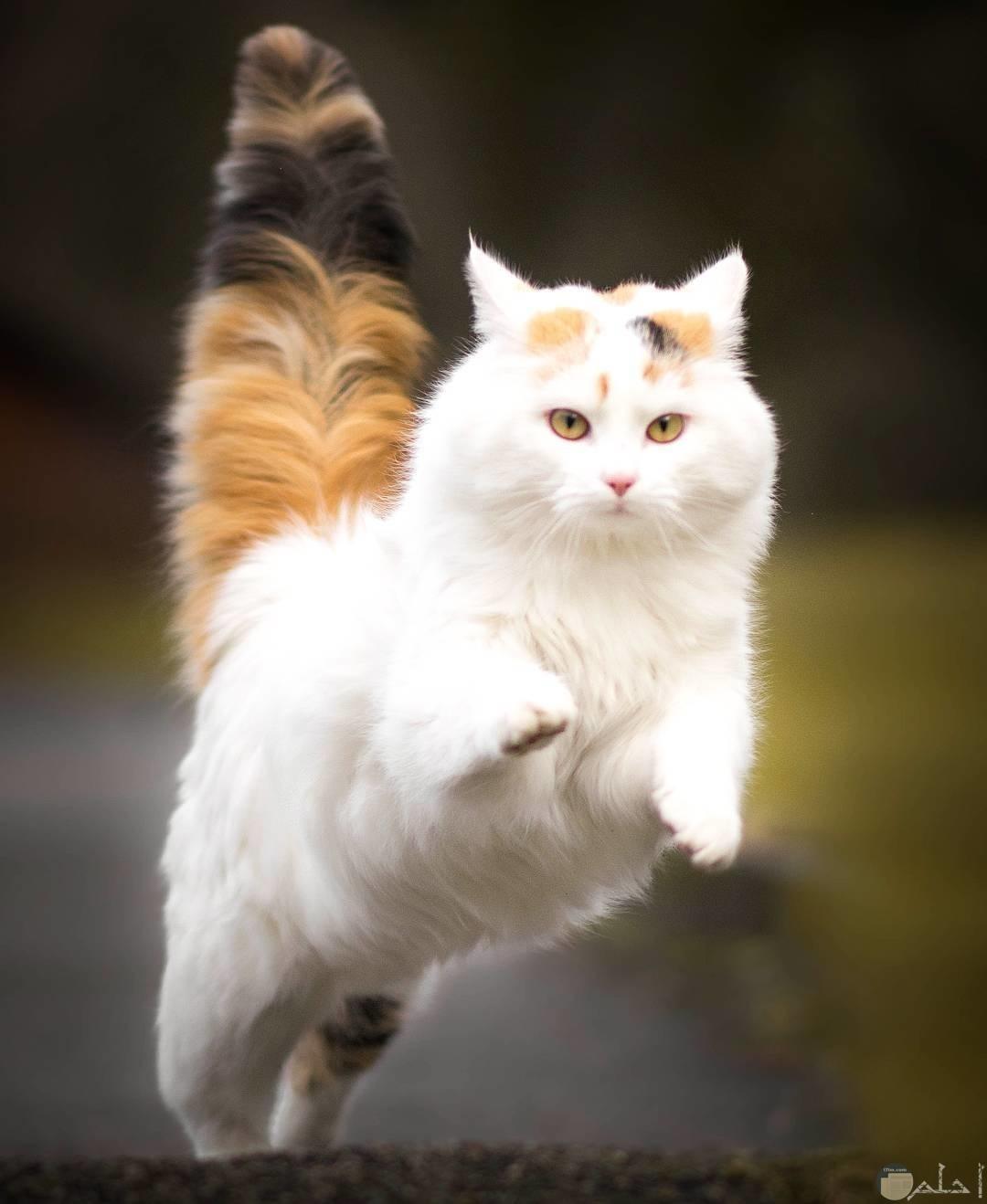قطة بيضاء تقفز