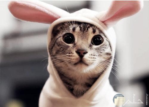 قطة لابسه ارنب