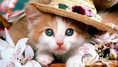 قطة كيوت و جميلة ترتدي قبعة و محاطة بالورد.