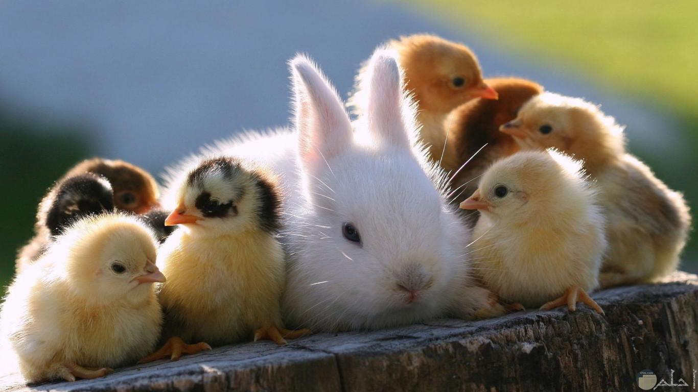 صورة أرنب و كتاكيت صغيرة جميلة.