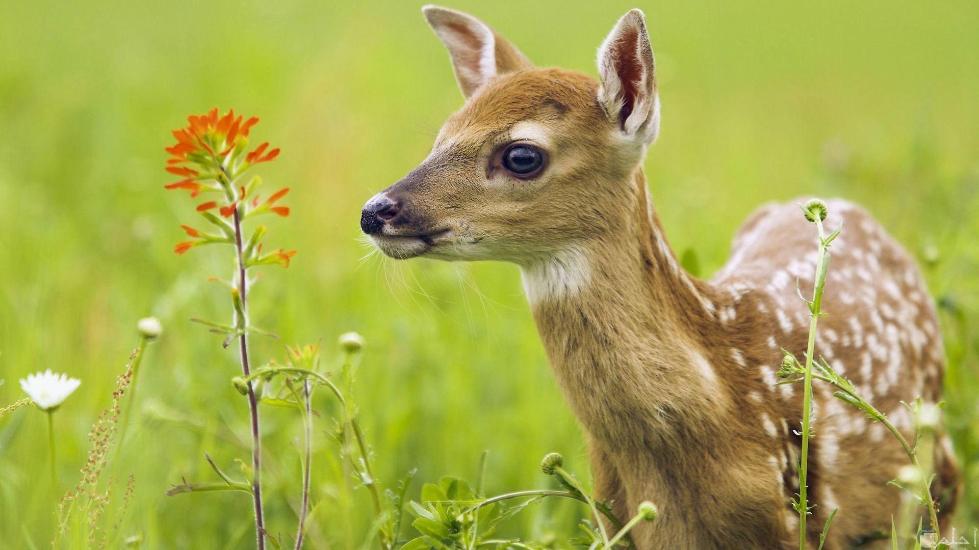 صورة غزالة صغيرة في البرية.