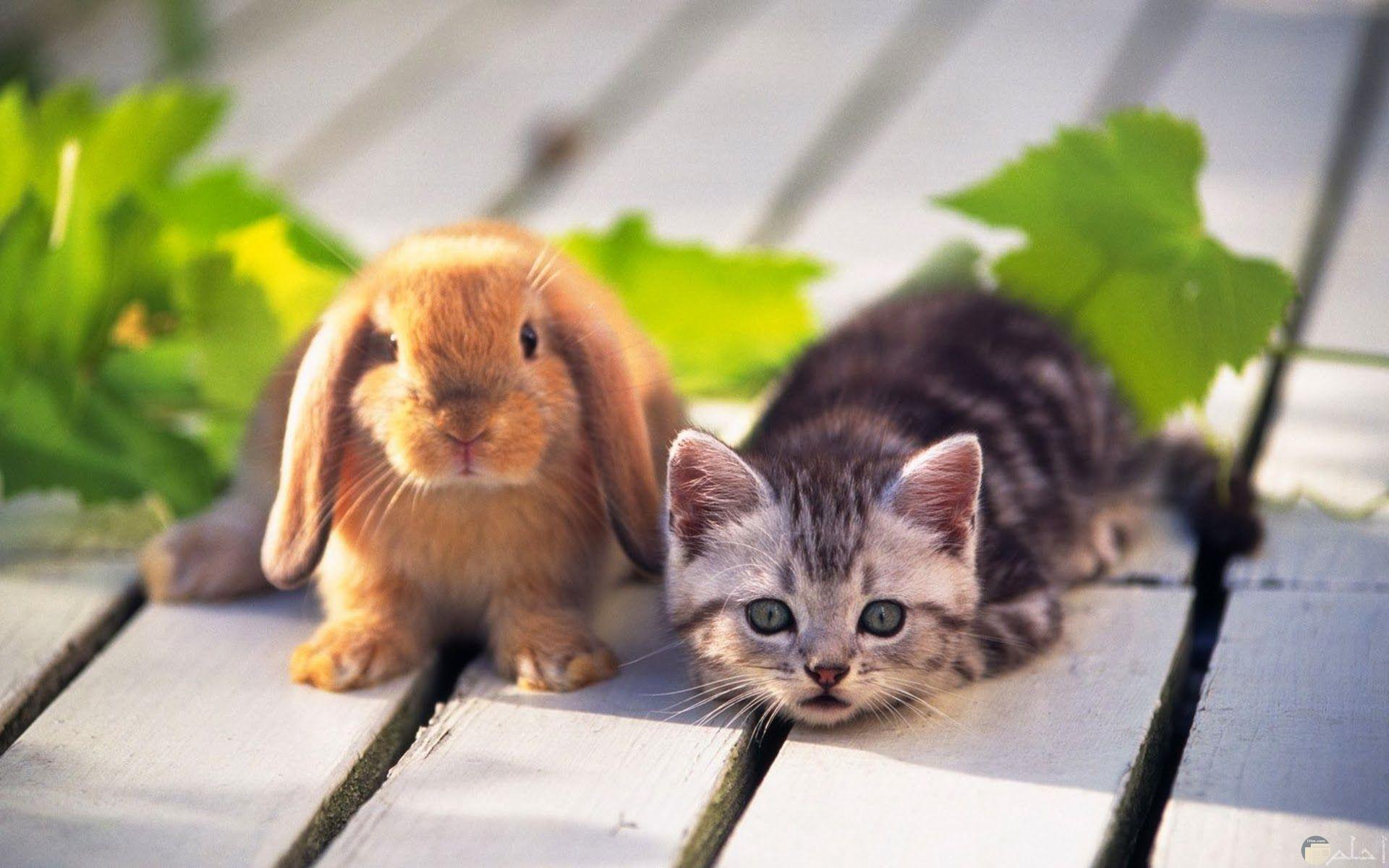 صورة قطة مع أرنب صغير.