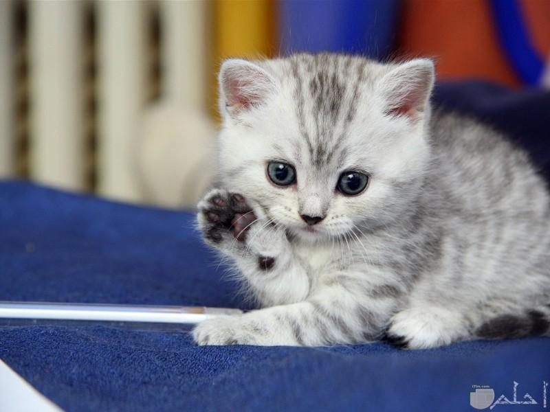 قطة رمادي حلوة