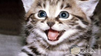 صورة قطة جميلة شقية