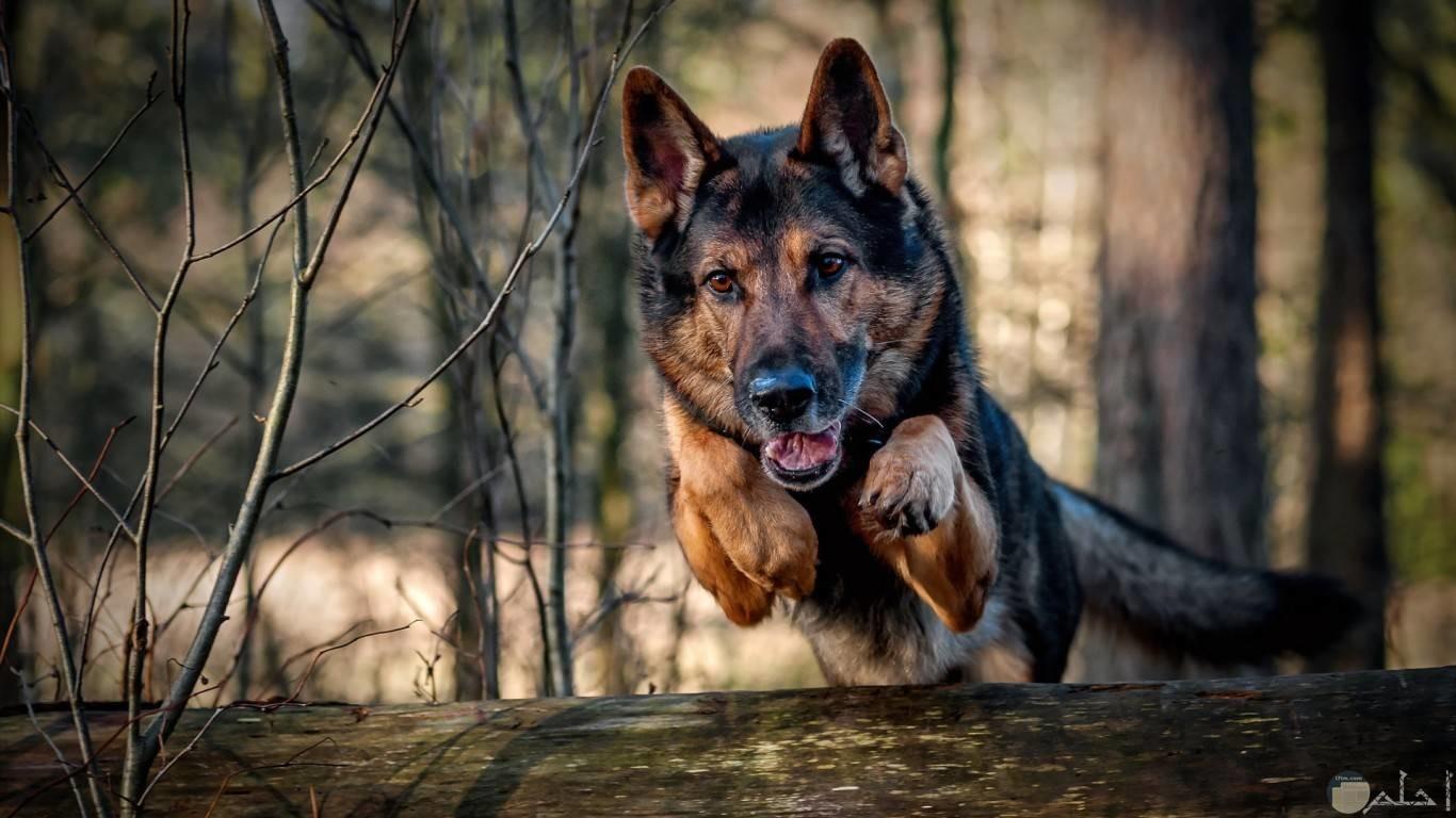 كلب جيرمين يجري في الغابة بين الأشجار.