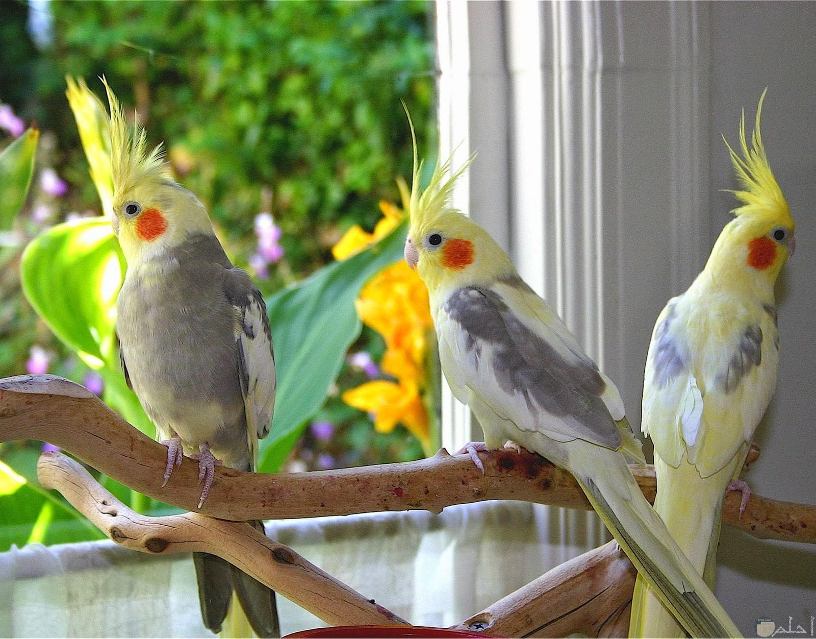 طيور جميلة واليفه للتربية