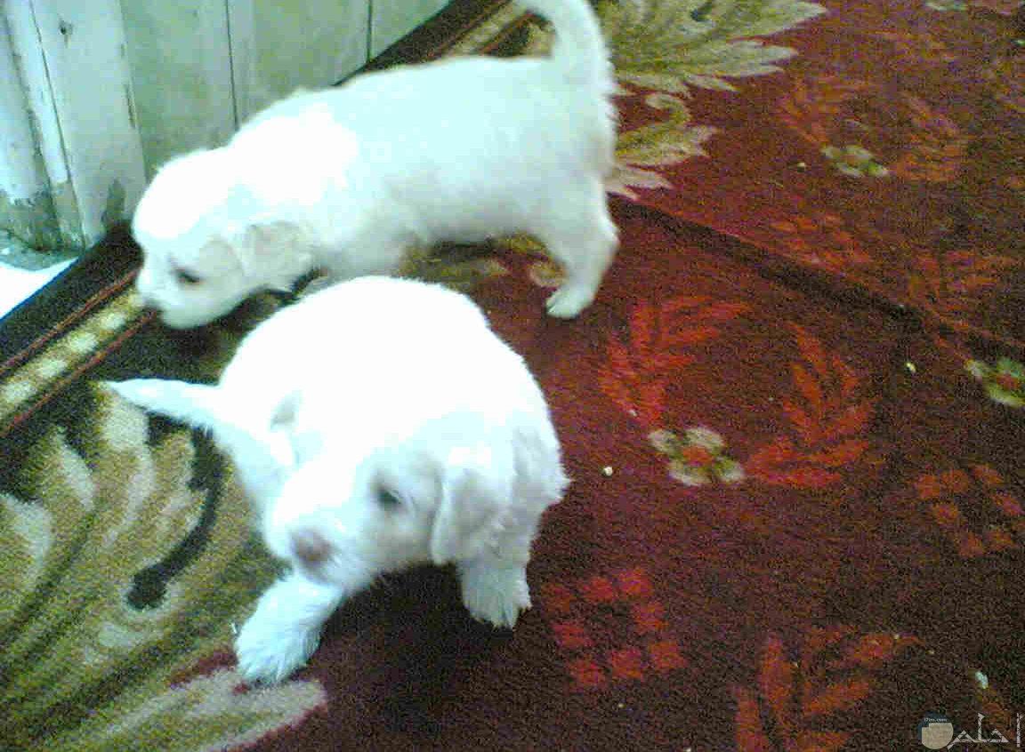 صورة كلبين جريفون مع بعضهما.