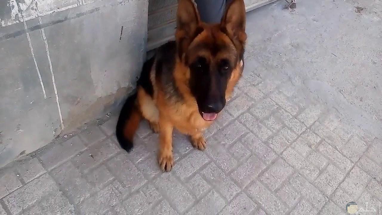 صورة كلب جيرمن بيور متوسط العمر.
