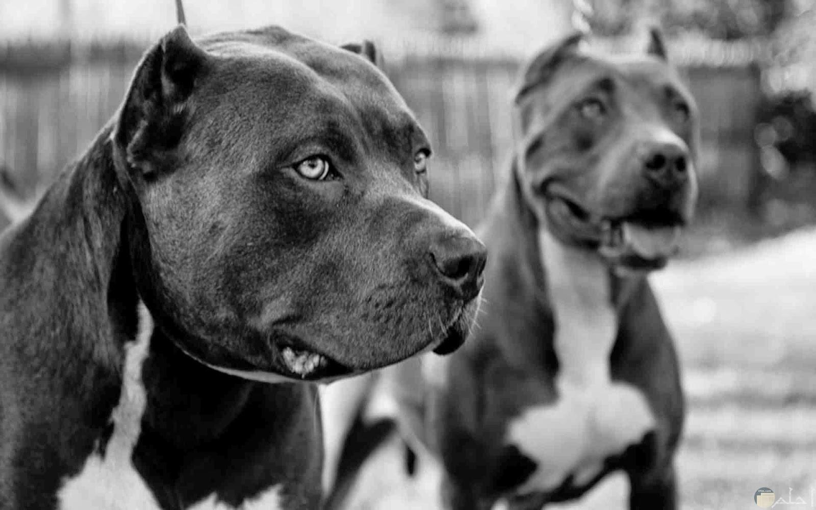 زوجين من الكلاب القوية المفترسة.