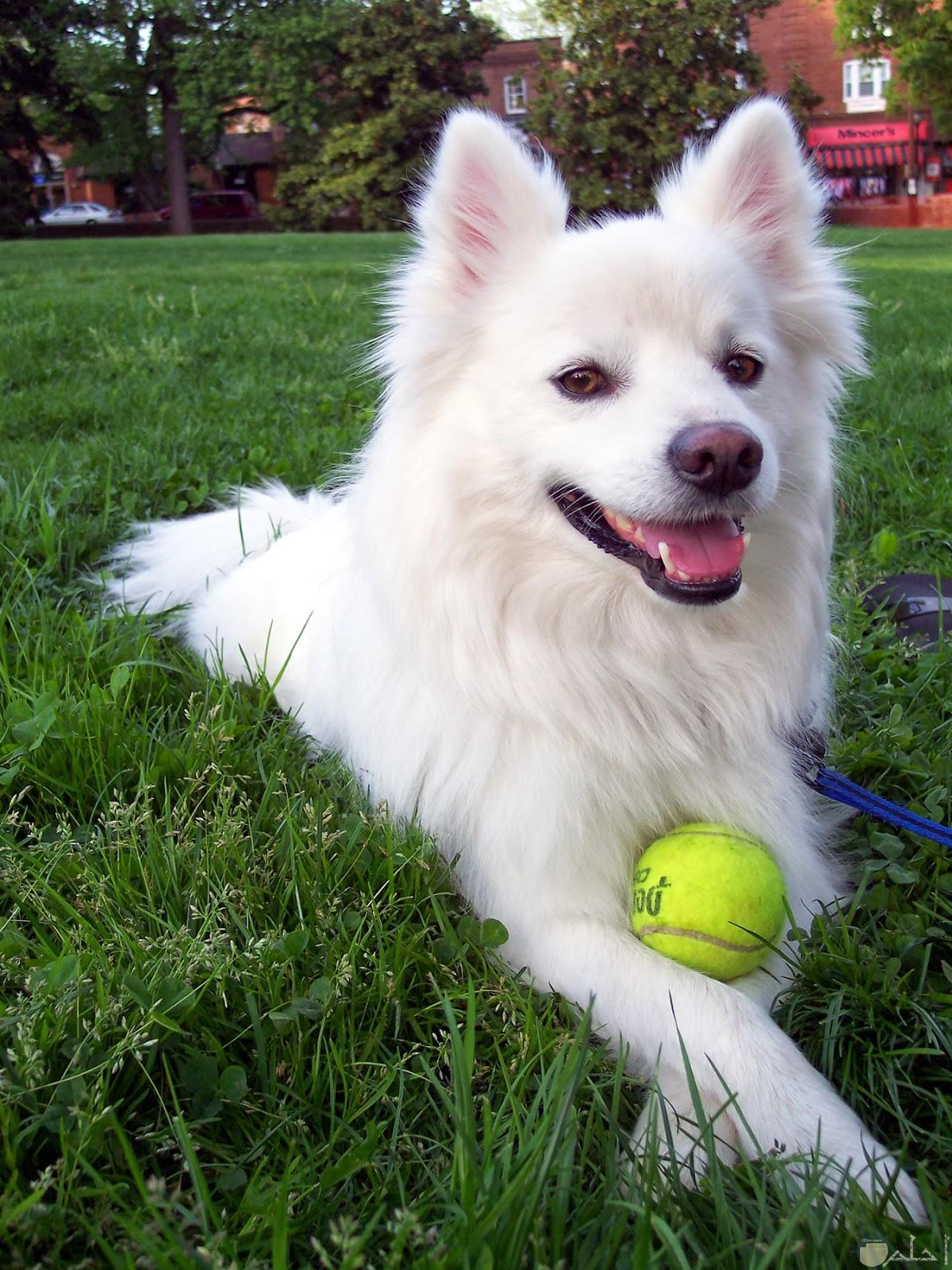 كلب ابيض يداعب كرة صغيرة.
