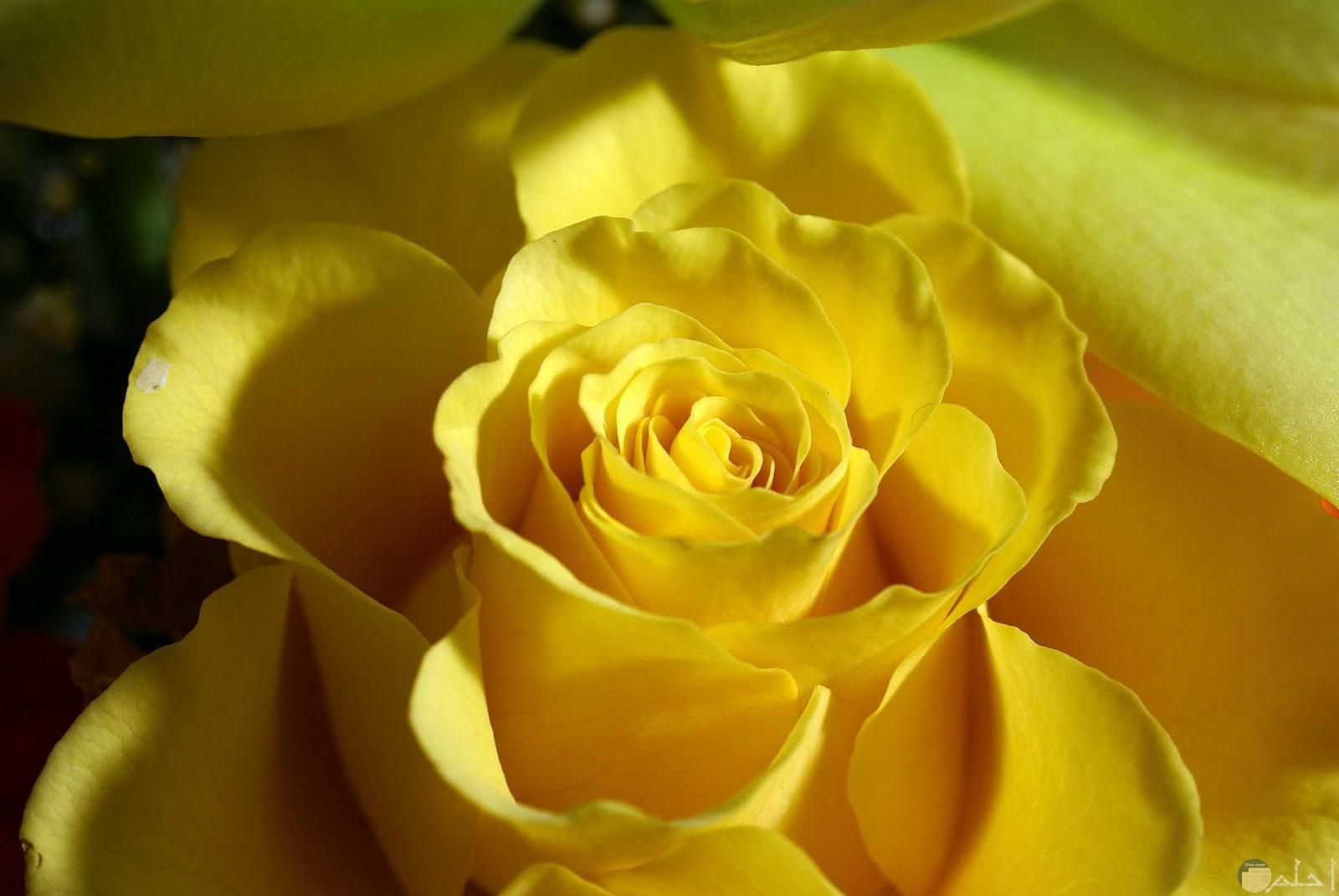 من اروع الورود المفتحة