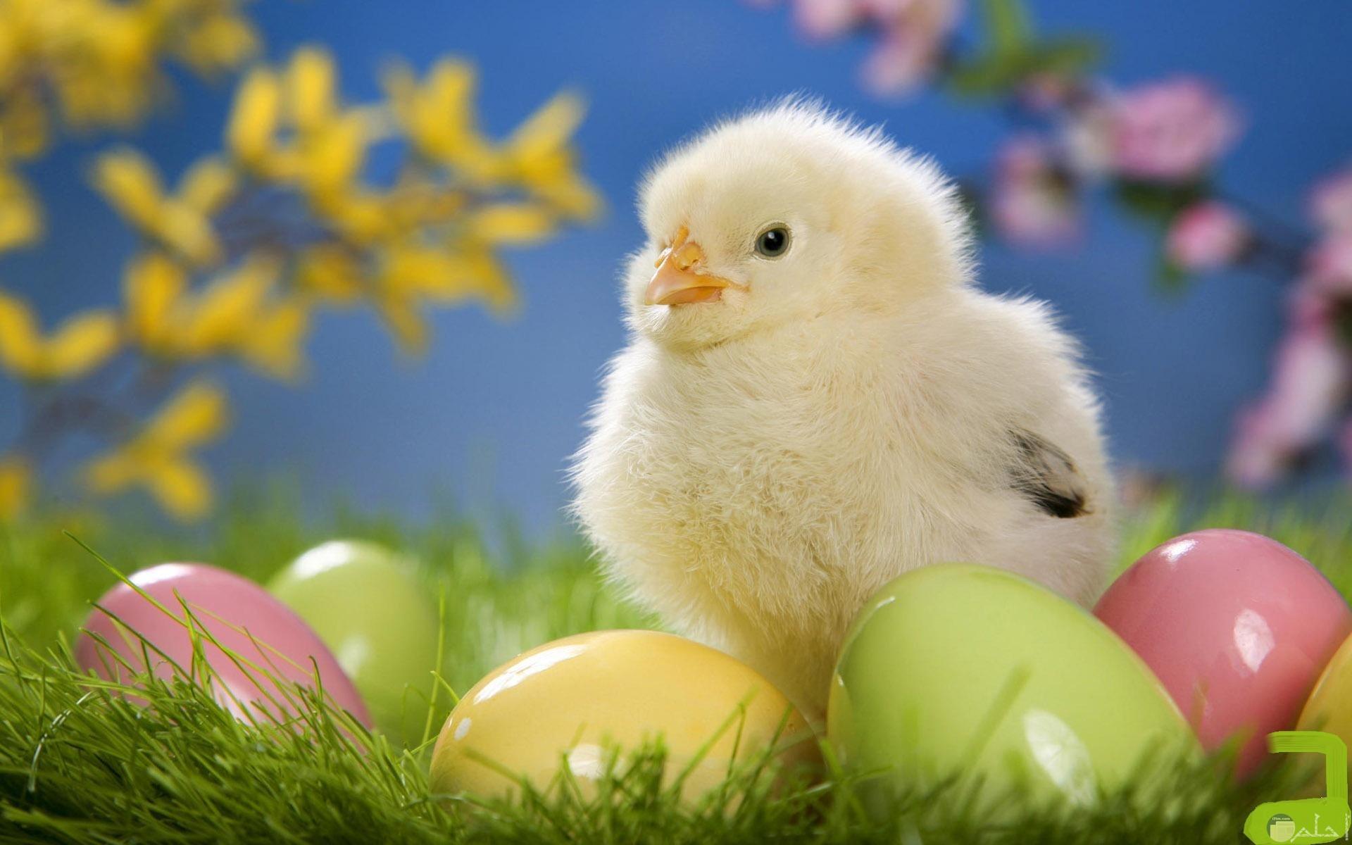 كتكوت صغير محاط ببعض البيضات.