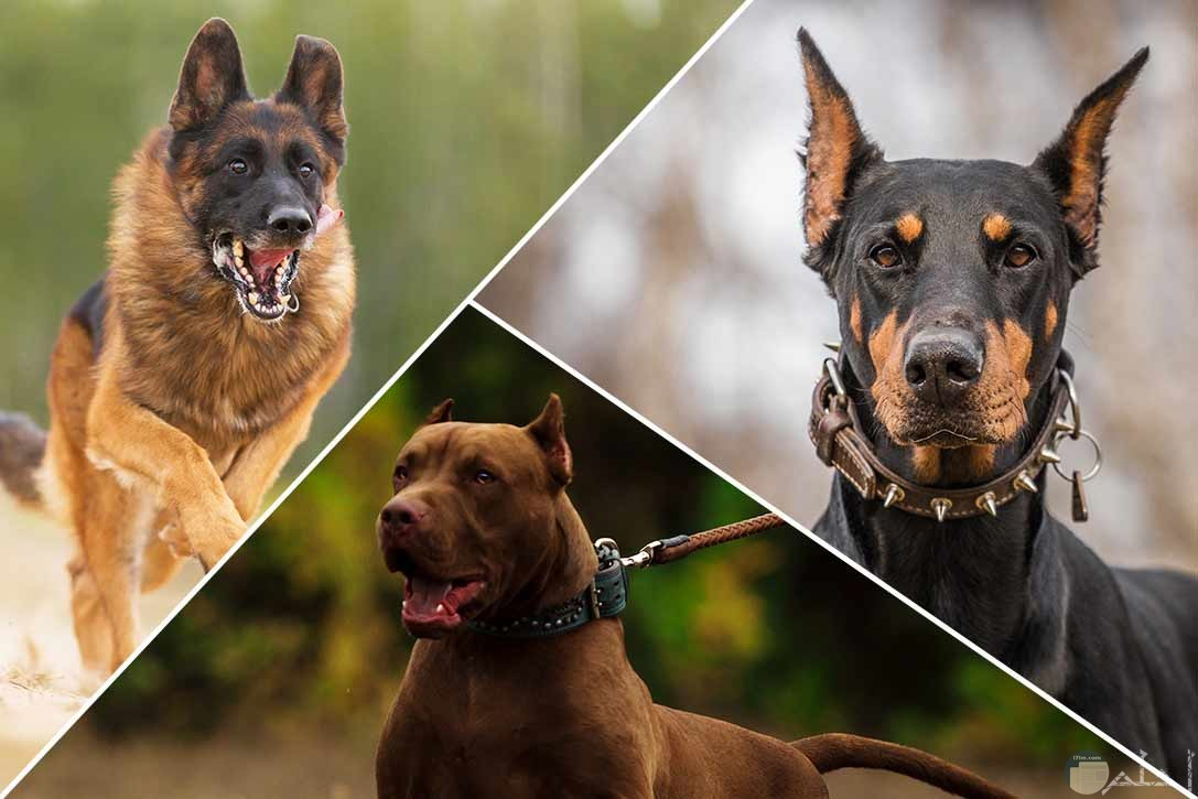 صورة ثلاث كلاب قوية الإفتراس.