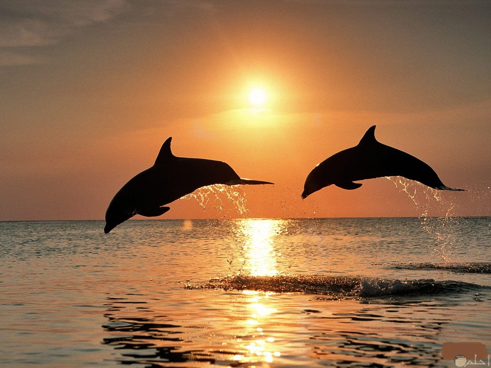 سمكتان كبيرتان يسبحان بالبحر.