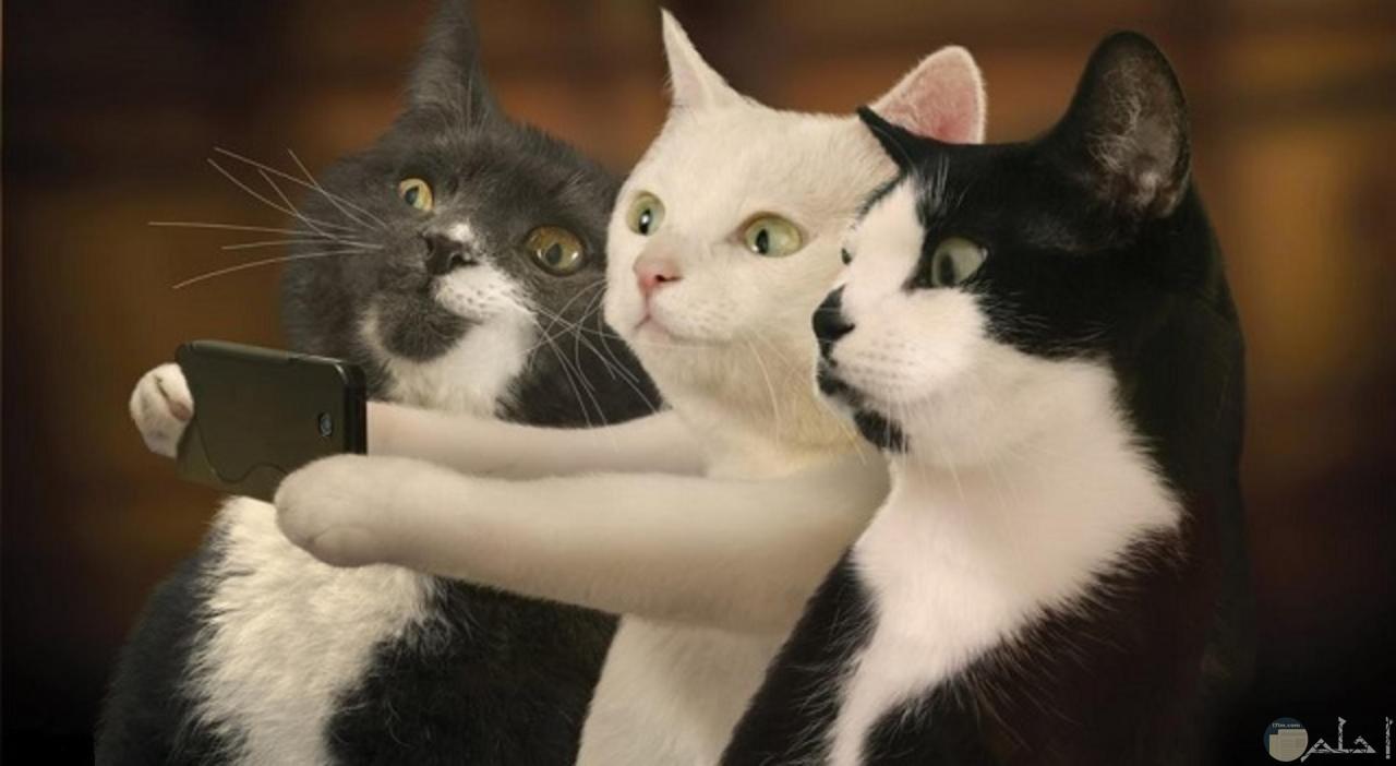صورة ثلاث قطط يلتقطون سيلفى لهم.