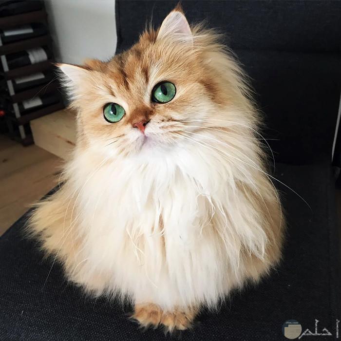 قطة كيوت كثيفة الشعر