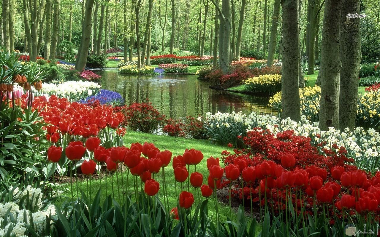 ورد احمر وابيض وزرع اخضر جميل