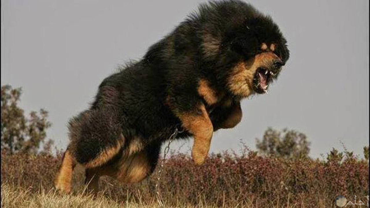 صورة كلب قوى جدا كأنه أسد.