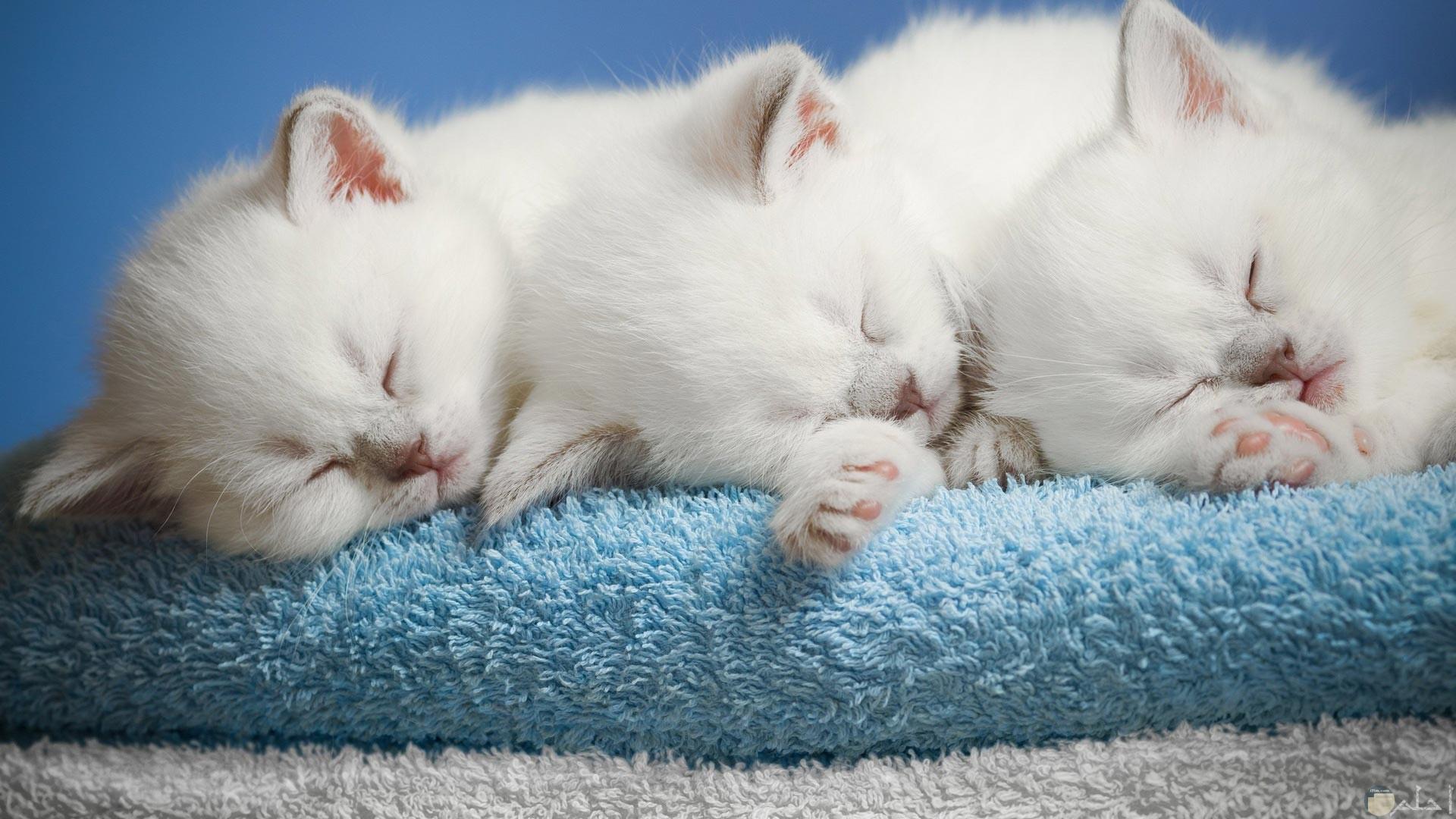 صورة تجمع ثلاث قطط فى حالة نوم.