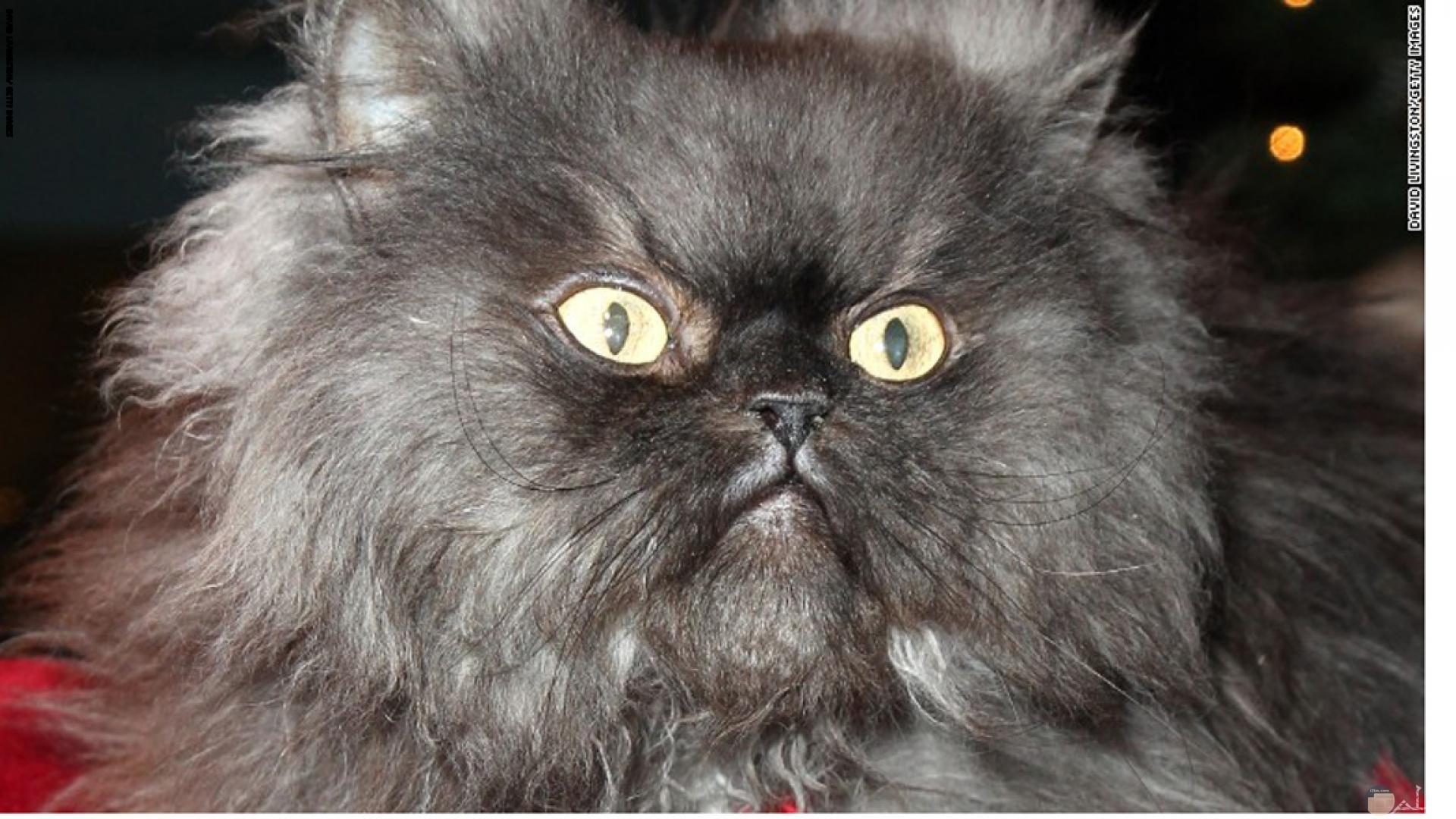 قط كثيف الشعر و غاضب.