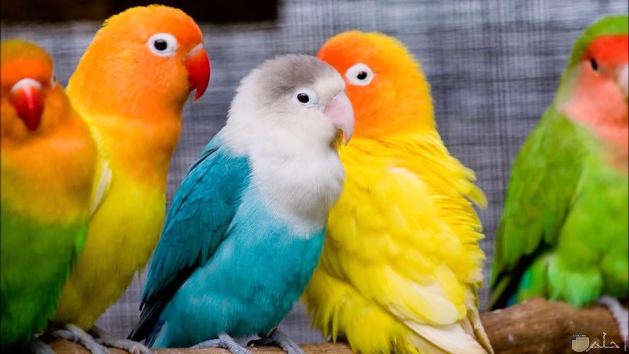 مجموعه من العصافير الملونه