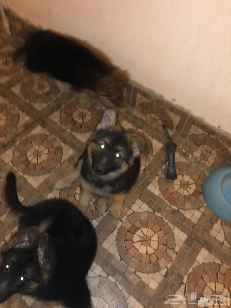 ثلاث كلاب جيرمن بيور فى صورة.